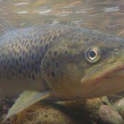 Pesca trucha CyL
