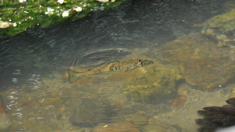 trucha río Arlanzón